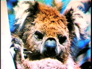 "A koala is considered one of ""Nature's Strangest Creatures."""