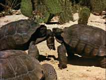 Forget Ninja Turtles, these two desert residents fight over a girl until one of them leaves in disgrace.