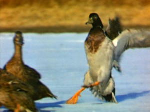 You just can't go wrong with a montage of ducks sliding into each other.