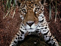"This South American jaguar gets right up to the camera in this memorable shot from ""Jungle Cat."""