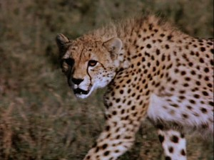 "Nature's most perfect hunter -- the cheetah -- is seen in action in ""The African Lion."""