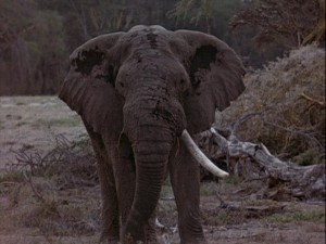 This elephant is old. Hence, the one tusk.