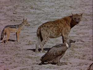 Scavengers of the world, unite! A vulture, a hyena, and a jackal line up for a taste of some lion kill.