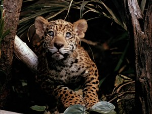 Everyone loves a baby jaguar.