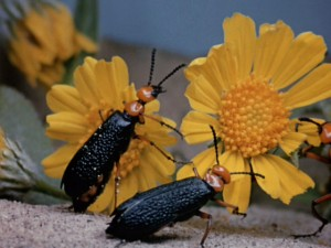 """Secrets of Life"" spends a great deal of time with the insect world, including the desert blister beetle, seen here."