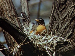 A robin feathering his nest has very little time to rest.