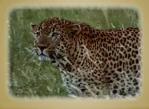 DisneyPedia profiles the leopard, a creature worthy of better treatment than the film gives it.