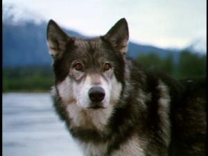Part-dog, part-wolf, part-wild, part-companion, orphaned Mia Tuk (White Fang, played by Jed) is a mixture of things.