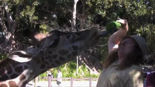 A giraffe and its tongue get close to Weird Al as he feeds it leaves in one of his short YouTube clips.