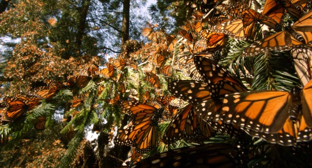 If you want to see a whole bunch of monarch butterflies like these, you'll want to plant some milkweed.