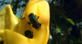 Scent oils attract orchid bees, which then get stuck carrying pollen sacs on their backs.